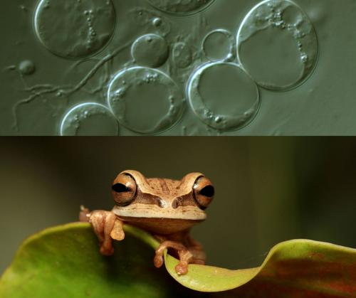 Sequencing reveals complex history of amphibian-killing fungus