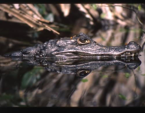 Yellow peril: Are banana farms contaminating Costa Rica''s crocs?