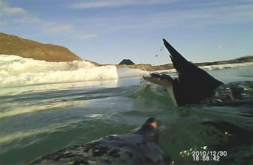 Researchers get better view of penguins with affixed cameras and accelerometers (w/ video)