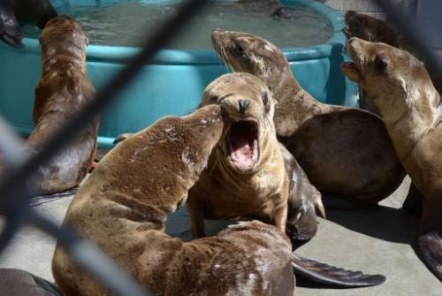 Young sea lions recover at the Marine Mammal Care Center in San Pedro, California on April 9, 2013
