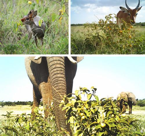 Africa's poison 'apple' provides common ground for saving elephants, raising livestock