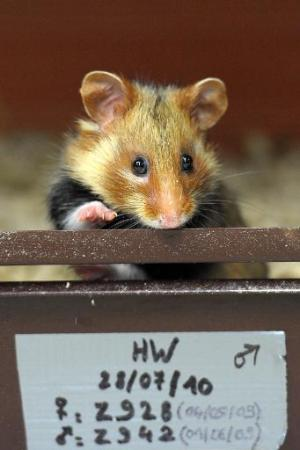 A Great Hamster of Alsace at a breeding centre in Hunawihr, eastern France, on June 7, 2011