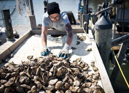 An employee of the Hollywood Oyster company sorts and counts fresh oysters at the company farm in the waters of Chesapeake Bay n