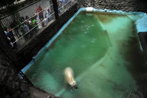 Arturo, the only polar bear in Argentina, living in captivity at a zoo in Mendoza, is pictured at his enclosure on February 5, 2