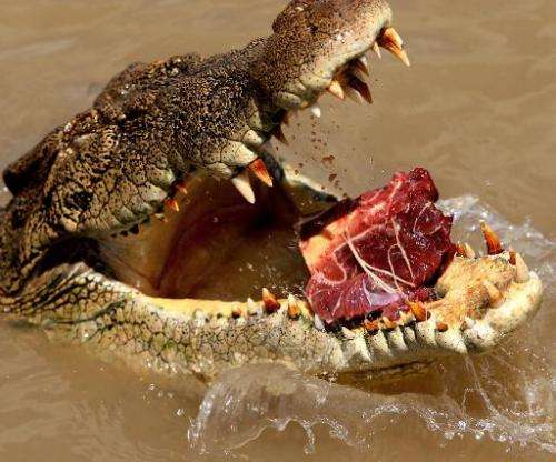 A saltwater crocodile being enticed with meat out of the Adelaide river near Darwin in Australia's Northern Territory
