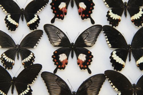 A single gene, doublesex, controls wing mimicry in butterflies