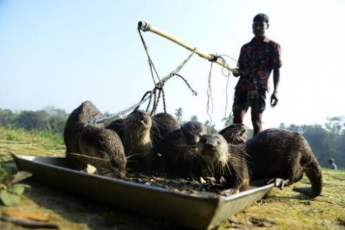 Bangladeshi fisherman feed their otters as they catch fish in Narail some 208kms from Dhaka on March 11, 2014