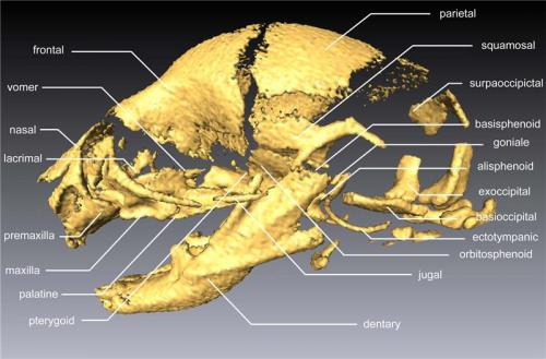 Brain size influences development of individual cranial bones