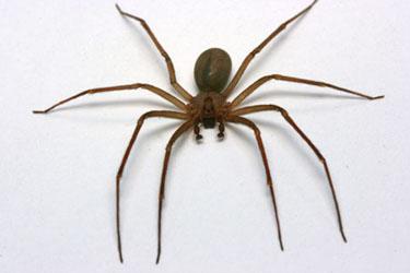 Brown recluse spider bites crawling upward