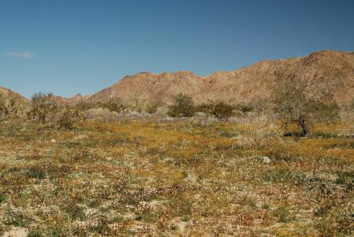 California and Arizona amaze with 2 new species of desert poppy