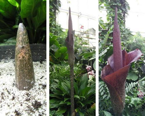 Devil's Tongue flower comes to life in continuing five-year cycle