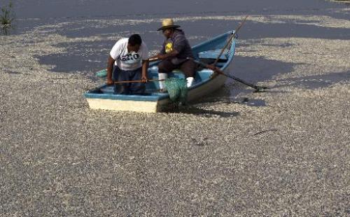 """Fishermen collect dead """"popocha"""" fish at the Cajititlan lagoon at Tlajomulco de Zuniga in Jalisco state, western Mexic"""