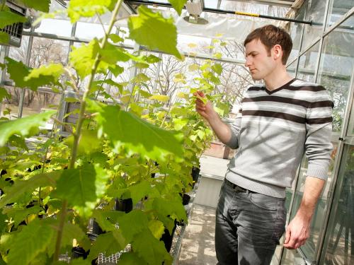 Forestry geneticists develop tree biomass crop to grow on marginal lands