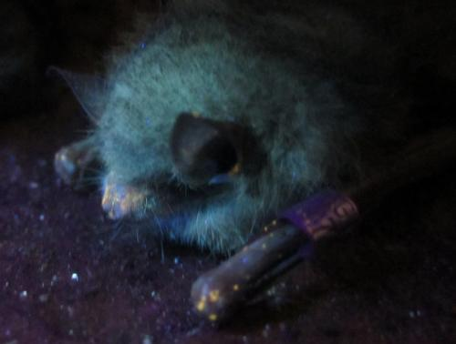 Glow-in-the-dark tool lets scientists find diseased bats