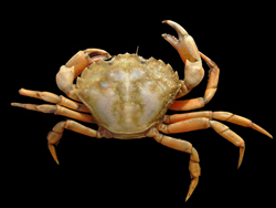 Help stem the Asian shore crab invasion