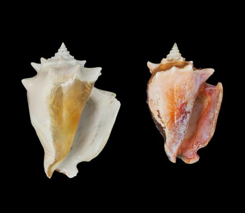 Humans drive evolution of conch size