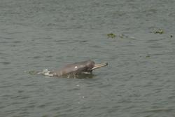 Improved monitoring of endangered Ganges river dolphin
