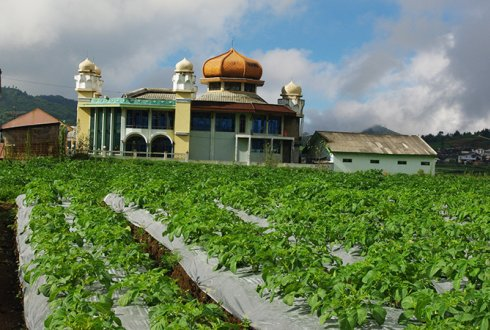 Improving the productivity of tropical potato cultivation