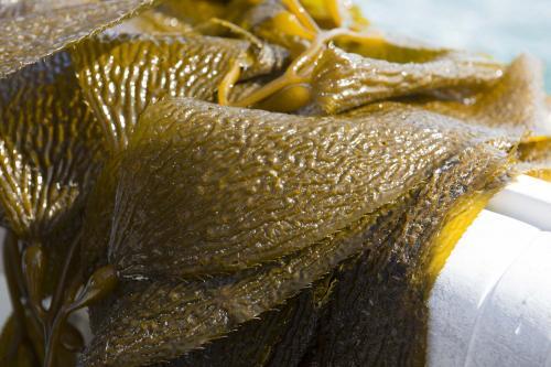 Kelp study finds no ocean-borne Fukushima radiation