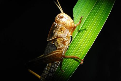 Locusts harness the sun to get their optimum diet