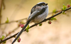 Long-tailed tits set for climate boost