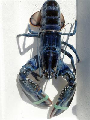 Maine lobsterman catches rare blue lobster