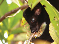 New action plan to save Madagascar's at-risk lemurs