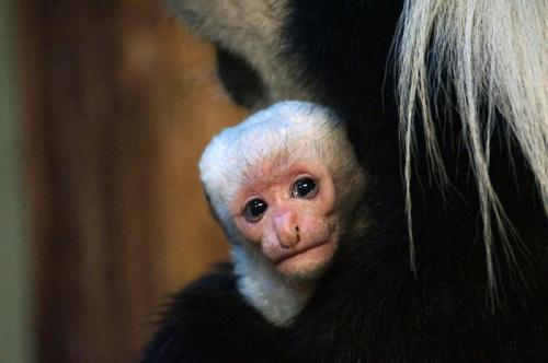 Newborn monkey is a real mummy's boy!