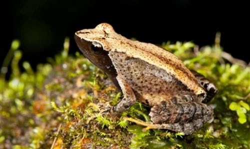New frog species found in troubled Indian habitat