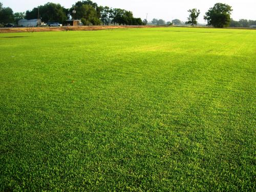 New St. Augustine grass hybrid uses less water, offers other advantages