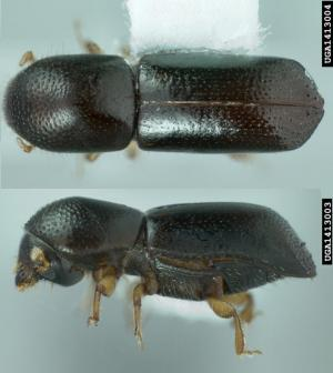 New yeast species travelled the globe with a little help from the beetles