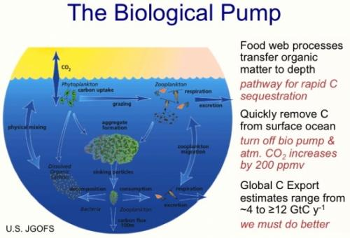 Ocean food web is key in the global carbon cycle