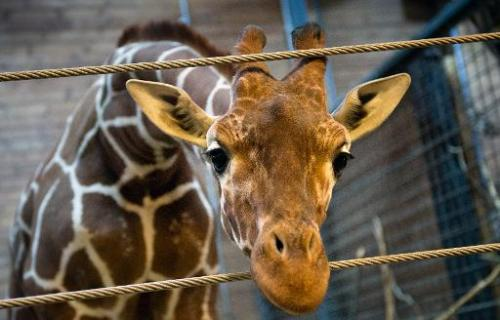 Picture taken on Febuary 7, 2014 shows Marius the giraffe at Copenhagen zoo on Febuary 9, 2014