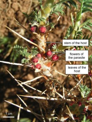 Putting the endoparasitic plants Apodanthaceae on the map