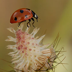 Radar reveals extraordinary ladybird flight paths