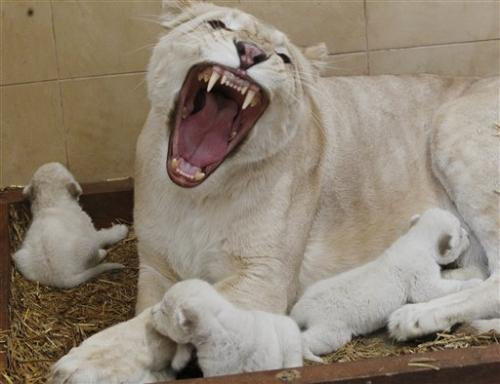 Rare white lion triplets born in Poland (Update)