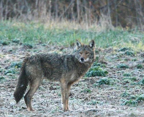 Research indicates coyote predation on deer in East manageable