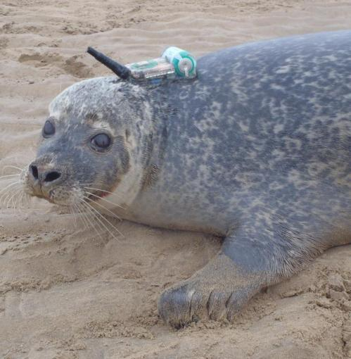 Seals forage at offshore wind farms