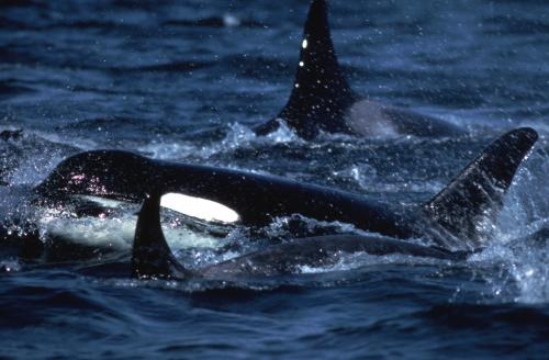 'Severe reduction' in killer whale numbers during last Ice Age