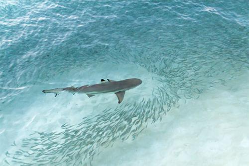 Shark cull overkill