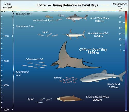 Tags reveal Chilean devil rays are among ocean's deepest divers