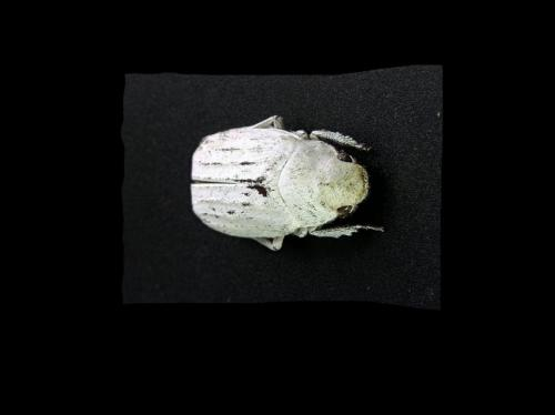 The beetle's white album