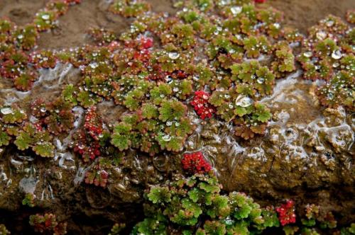 Tiny plant, big potential: Researchers raise money from public to sequence Azolla 'superorganism' genome