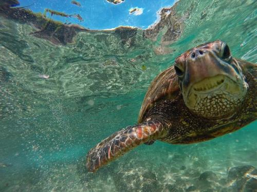 Turtle migration directly influenced by ocean drift experiences as hatchlings