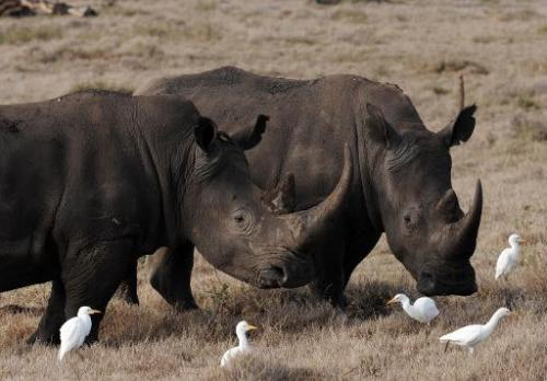 Two male rhinoceros pasture in the savannah at the Lewa Wildlife Conservancy on December 10, 2010