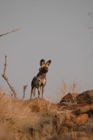 Unusual approach may offer hope for endangered african wild dog