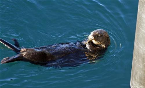 US: Sea otters are recovered following 1989 spill