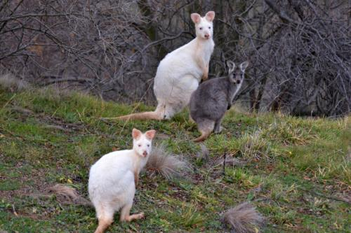 UTS kangaroo research program confirms rare albino wallaroos on Mount Panorama