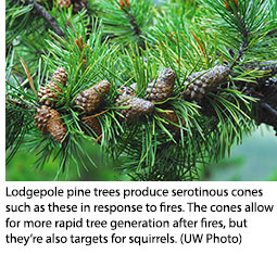 UW Research: Squirrels Counter Evolutionary Impact of Fire on Lodgepole Pine