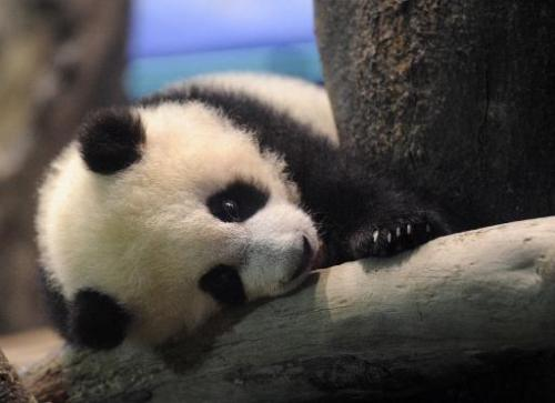 Yuan Zai, the first Taiwan-born baby panda, lies inside an enclosure at the Taipei City Zoo on January 4, 2014